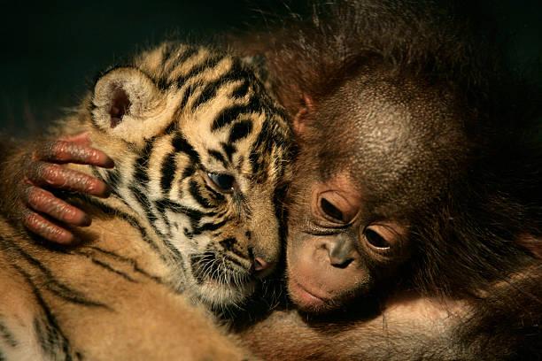 Endangered Sumatran Tiger Cubs Born In Indonesia:ニュース(壁紙.com)