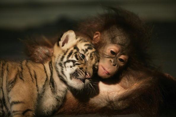 動物「Endangered Sumatran Tiger Cubs Born In Indonesia」:写真・画像(16)[壁紙.com]