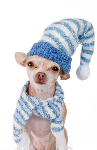 Chihuahua - Dog「winter」:スマホ壁紙(7)