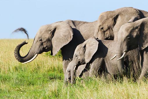 象「Elephant herd, where one of the elephants sprays dirt on himself, Serengeti plains」:スマホ壁紙(7)