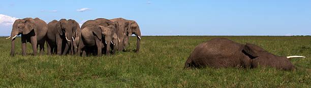 elephant herd mourning dead elephant:スマホ壁紙(壁紙.com)