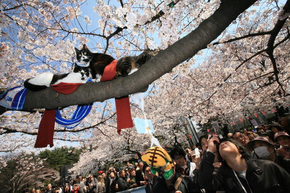Blossom「Cherry Blossoms Are In Full Bloom In Tokyo」:写真・画像(10)[壁紙.com]