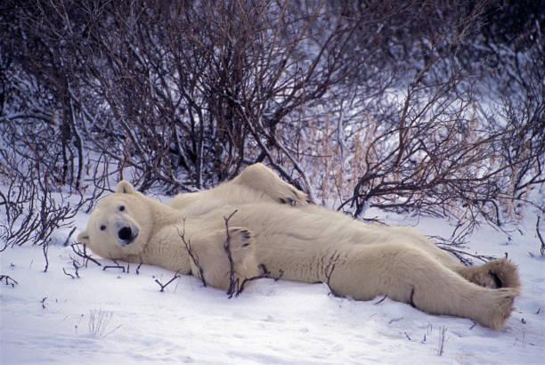 Laid Back Bear:スマホ壁紙(壁紙.com)