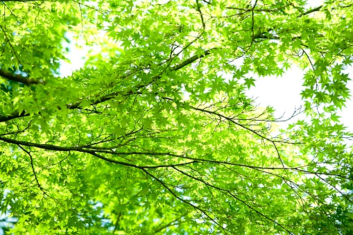 かまくら「Lush Green Leaves of a Maple Tree. Kamakura, Kanagawa Prefecture, Japan」:スマホ壁紙(18)