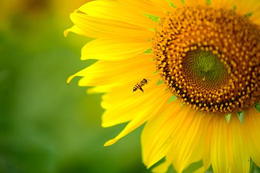 ひまわり「Bee on sunflower」:スマホ壁紙(9)