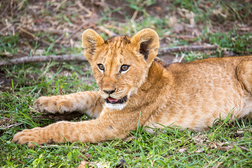 Cat「Lion cub in Maasai Mara, Kenya」:スマホ壁紙(4)