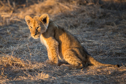 Cat「Lion cub in Maasai Mara, Kenya」:スマホ壁紙(8)
