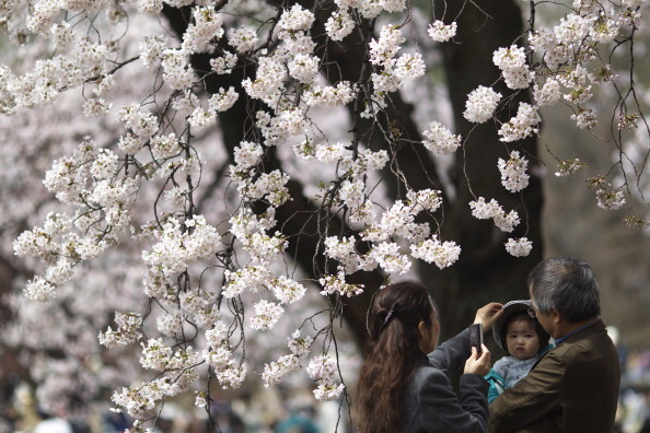 Cherry Blossom「Japan Moves Forward In Aftermath Of Earthquake Despite Nuclear Fears」:写真・画像(18)[壁紙.com]