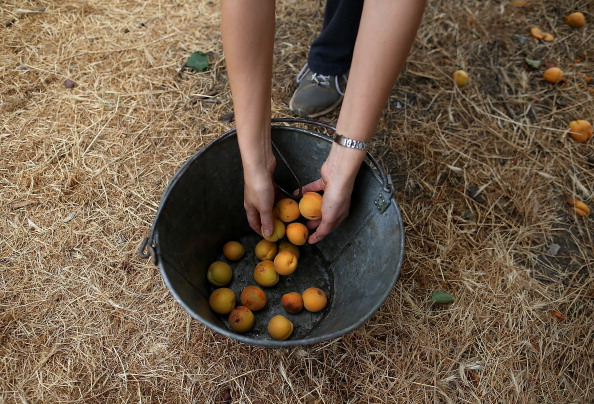 Environmental Conservation「Urban Foraging Group Collects Fruit Off Private Property」:写真・画像(2)[壁紙.com]