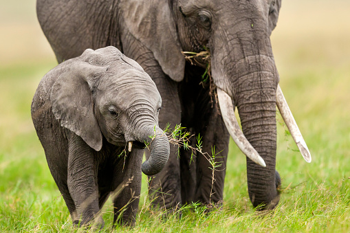 Animals In The Wild「Mother elephant and baby」:スマホ壁紙(0)