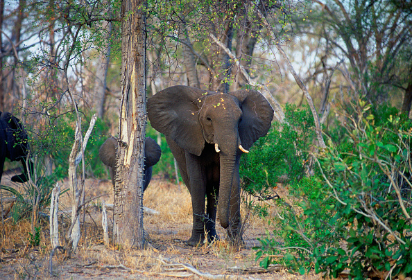 animal「Elephants, Botswana, Africa」:写真・画像(3)[壁紙.com]