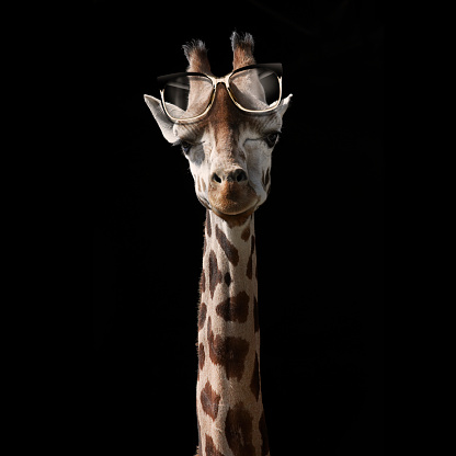 Giraffe「Giraffe with spectacles propped on its forehead」:スマホ壁紙(13)