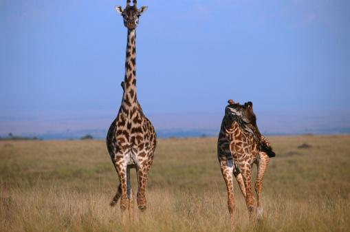 Giraffe「Giraffe (Giraffe camelopardalis tippleskirchi) with it's calf,  Masai Mara N.R, Kenya」:スマホ壁紙(18)