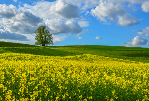 アブラナ「Rapeseed field, Linn, Aargau, Switzerland」:スマホ壁紙(7)