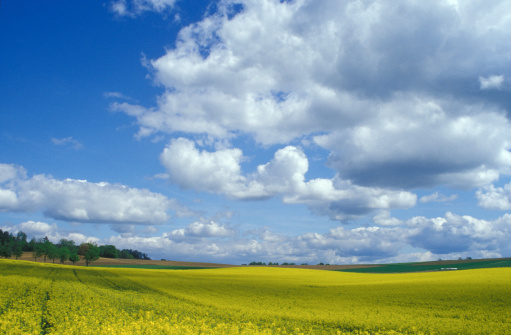 アブラナ「Rape-seed field, Bavaria in spring, Germany」:スマホ壁紙(7)
