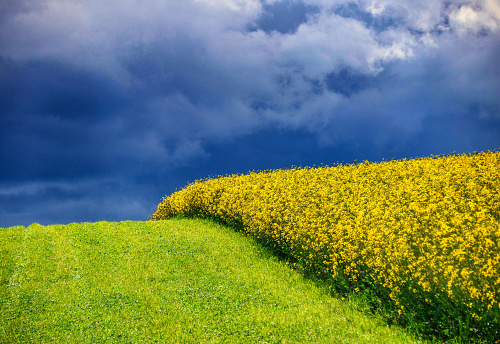 Oilseed Rape「Rapeseed field, Oberrohrdorf, Aargau, Switzerland」:スマホ壁紙(4)