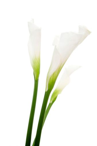 Baby Shower「Basic close-up shot of calla lilies」:スマホ壁紙(16)