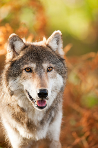 Furious「Handsome gray wolf in Autumn setting.」:スマホ壁紙(3)