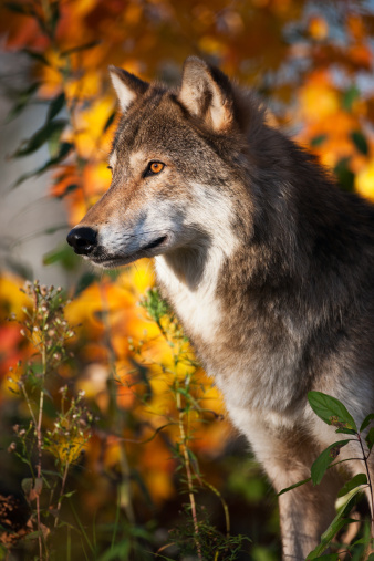 Furious「Handsome gray wolf in Autumn setting.」:スマホ壁紙(11)