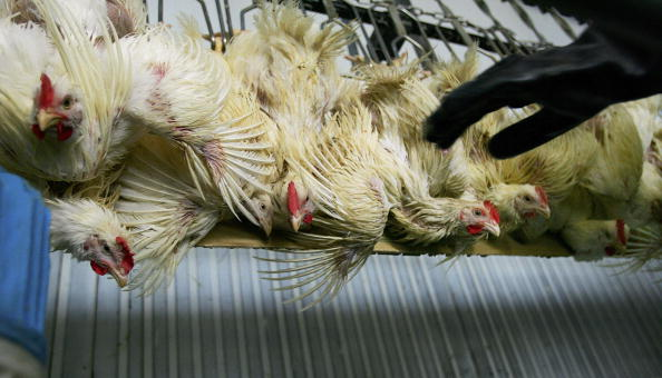 Coathanger「Concerns Over Bird Flu Continues To Effect Thailand's Chicken Industry」:写真・画像(13)[壁紙.com]