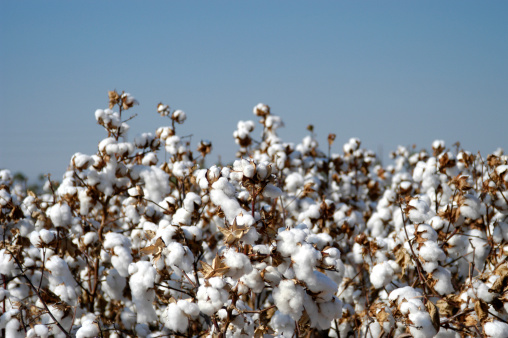 Crop - Plant「Endless fields of unpicked cotton in bloom during Spring」:スマホ壁紙(18)