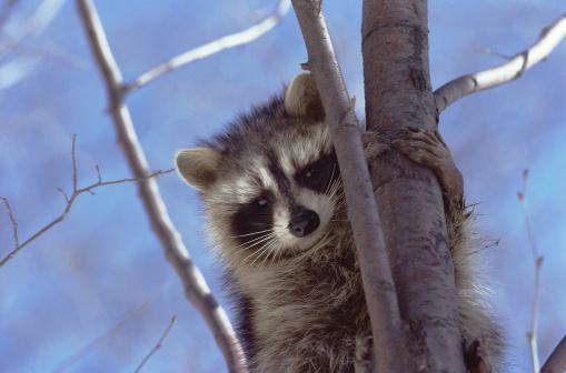 Raccoon「Raccoon in a Tree」:スマホ壁紙(4)