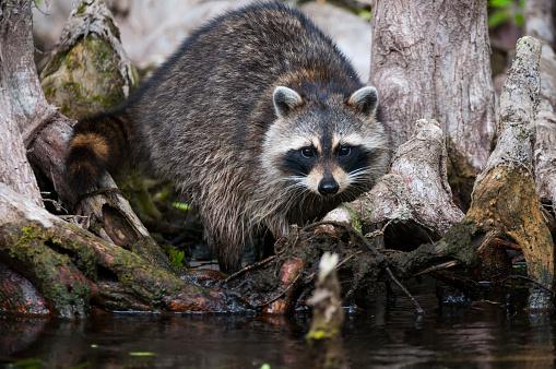 Raccoon「Raccoon in the Cypress knees」:スマホ壁紙(15)
