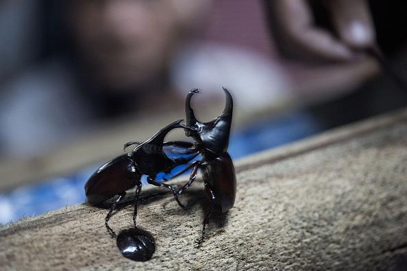 虫・昆虫「Beetle Fighting」:写真・画像(9)[壁紙.com]