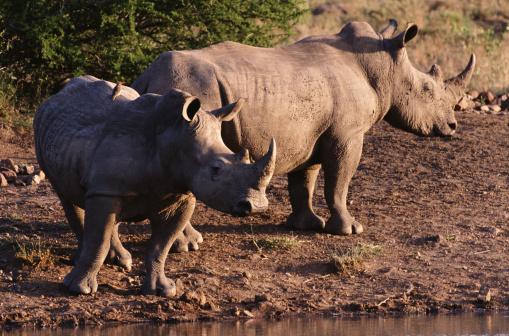 野生動物「Two Rhinoceroses」:スマホ壁紙(10)
