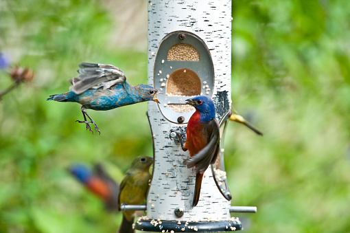 Bunting「Indigo Bunting (Passerina cyanea) male and painted bunting (Passerina ciris) male at feeder, Immokalee, Florida, USA」:スマホ壁紙(10)