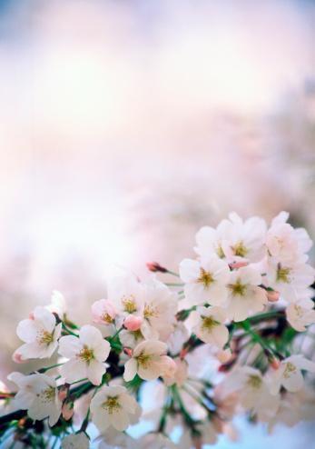 Cherry Blossom「鮮やかな桜」:スマホ壁紙(9)