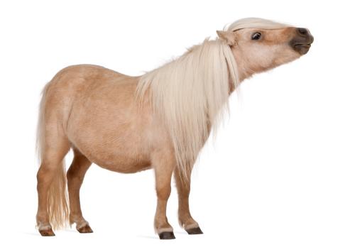 Horse「Palomino Shetland pony - Equus caballus」:スマホ壁紙(19)