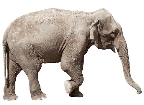 象「インド象、クリッピングパスの分離に白背景」:スマホ壁紙(9)