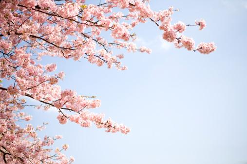 桜「Kawazu-zakura」:スマホ壁紙(1)