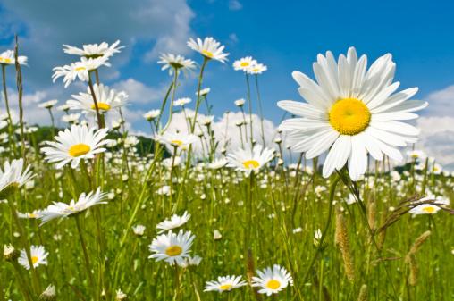 花畑「サンシャイン daisies 活気に満ちたワイルド草地」:スマホ壁紙(11)