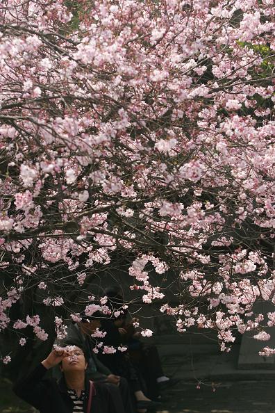 Asia「Cherry Blossom Around The Big Wild Goose Pagoda」:写真・画像(9)[壁紙.com]