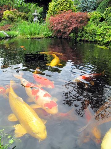 Carp「Big Kois in the pond」:スマホ壁紙(3)