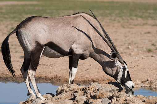Gemsbok「Gemsbok drinking (Oryx gazella), Auob Wadi, Kgalagadi National Park, Kalahari, South Africa」:スマホ壁紙(5)