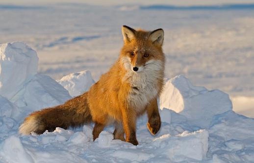 Snowdrift「Beauty fox.」:スマホ壁紙(2)