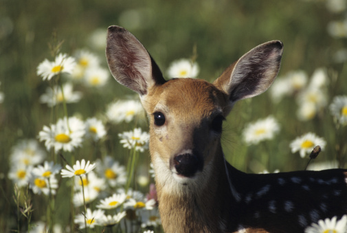 Fawn「Fawn, Whitetail deer (odocoileus virginianus), in wildflowers, close-up, USA」:スマホ壁紙(17)