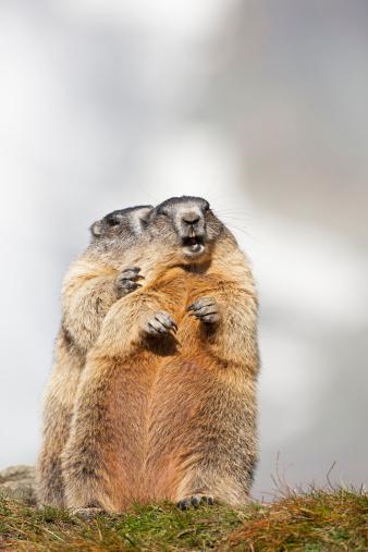 Austria「Austria, Alpine Marmots (Marmota marmota)」:スマホ壁紙(10)