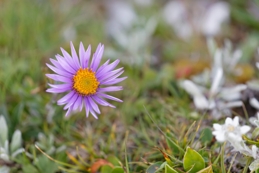 Aster「Austria, Alpine Aster flower, close up」:スマホ壁紙(4)