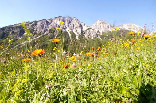 オーストリア「'Austria, alps, meadow full of flowers'」:スマホ壁紙(16)