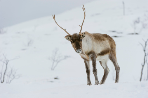 カメラ目線「Reindeer on snow in winter, Norway」:スマホ壁紙(19)
