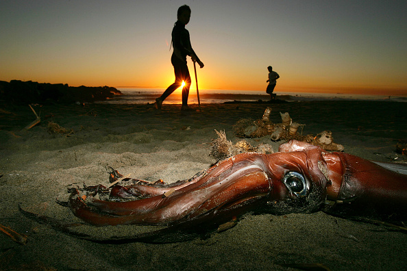 Mollusk「Giant Squid Mysteriously Wash Up On California Beaches」:写真・画像(13)[壁紙.com]