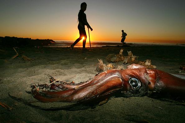 水中写真「Giant Squid Mysteriously Wash Up On California Beaches」:写真・画像(3)[壁紙.com]