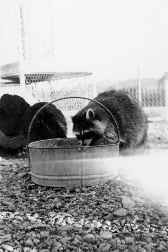 Raccoon「Vintage image of raccoon eating from bucket」:スマホ壁紙(19)