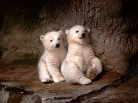 北極「Photo, Two polar bear cubs sitting on the ground」:スマホ壁紙(15)