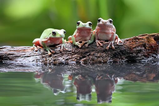 Frog「Three dumpy tree frogs on a branch by a pond」:スマホ壁紙(14)