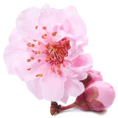 Sakura「シングル桜やバド、ホワイト」:スマホ壁紙(15)